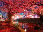 昼の桜も華やかで綺麗だけど、夜の桜は妖艶な雰囲気があって好き。