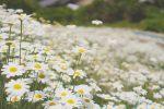 花の香りがフワッと漂う景色も綺麗な馬神除虫菊に行ってみた話。