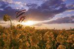 春を感じる『笠岡ベイファーム』~菜の花と鯉のぼりと夕陽と~
