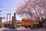 【尾道】桜さんぽ2020 海龍寺・西郷寺・久保八幡神社